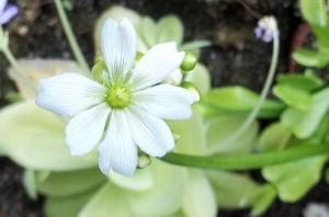 Die erste Blüte ist offen