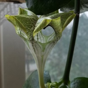 ceropegia sandersonii Gleitfalle