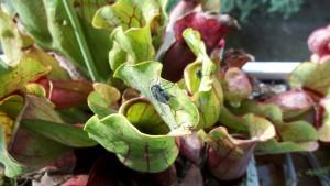 Venus-fliegenfalle.de Sarracenia purpurea Fliegenfänger